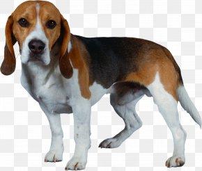 Dog - Beagle-Harrier Beagle-Harrier Shiba Inu Puppy PNG