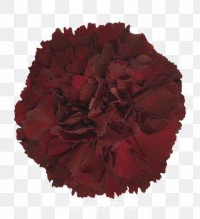 Crimson Viper - Carnation Cut Flowers Rose Colibri Flowers S.A. PNG