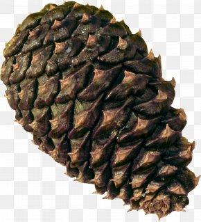 Pine Cone - Coulter Pine Conifer Cone Conifers Baeospora Myosura Cedar PNG