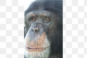 Chimpanzee - Common Chimpanzee Gorilla Primate Monkey Animal PNG