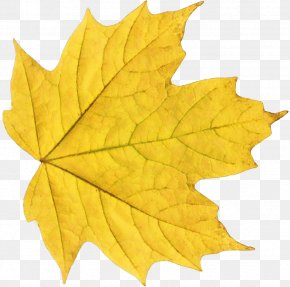 Yellow Autumn Leaf - Autumn Leaf Color Clip Art PNG