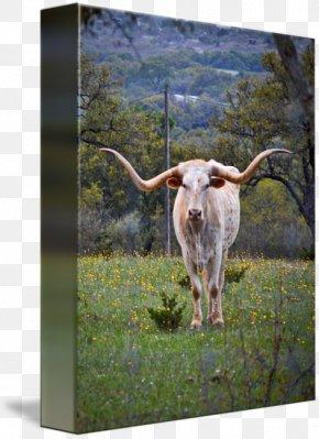 Texas Longhorn - Texas Longhorn Calf English Longhorn Dairy Cattle Ox PNG
