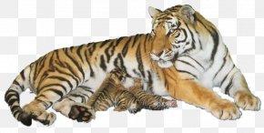 Tiger - Tiger Wildlife Cat PNG