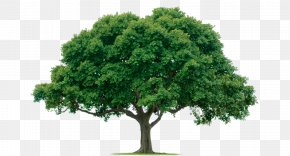 Tree Image, Free Download, Picture - Pruning Tree Planting Oak Transplanting PNG