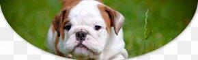 Puppy - Puppy Pit Bull Bulldog Maltese Dog Bichon Frise PNG