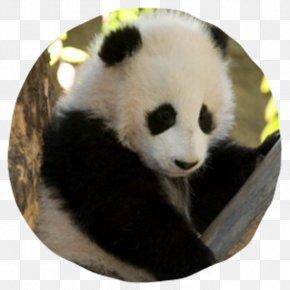 Giant Panda - San Diego Zoo Safari Park Giant Panda Edinburgh Zoo Koala PNG