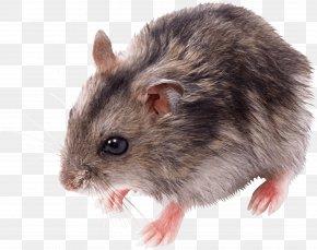 Little Mouse Rat Image - Rat Mouse PNG