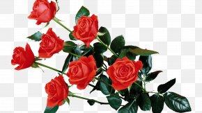Red Rose Transparent - Rose Flower Clip Art PNG