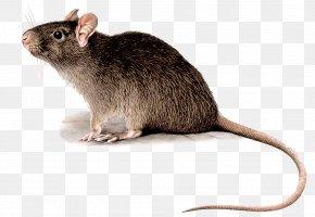 Mouse - Black Rat Rodent Deratizace Pest Control Mouse PNG