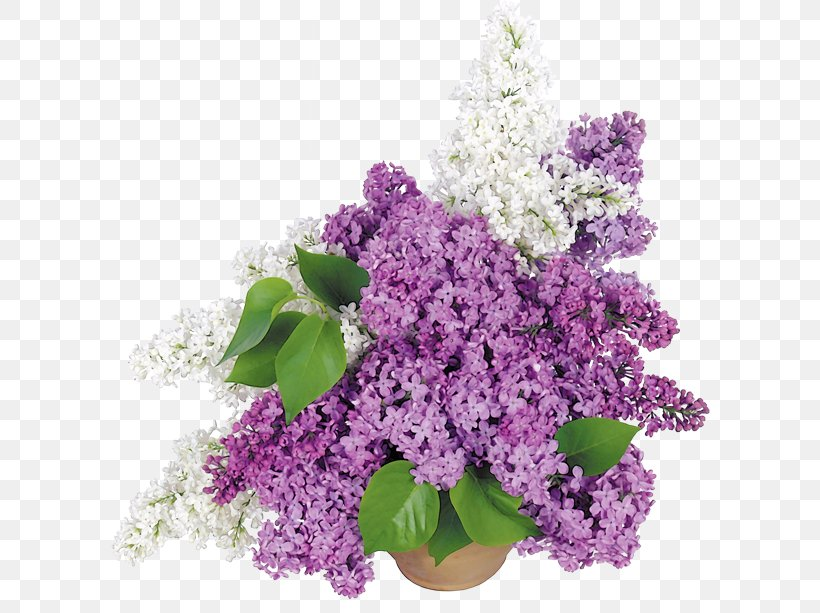Common Lilac Flower Bouquet Wallpaper, PNG, 600x613px, 4k Resolution, Common Lilac, Color, Computer, Cut Flowers Download Free