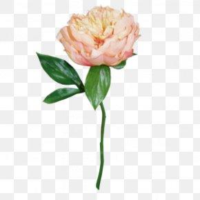 Rose Order Saxifragales - Pink Flower Cartoon PNG
