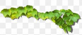 Green Grape Leaves - Common Grape Vine Green Grape Leaves PNG
