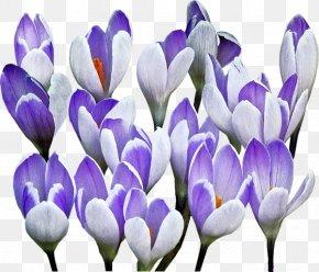 Crocus - Flower Advertising Floristry Blomsterbutikk PNG