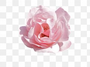 Rose - Pink Flowers Rose PNG
