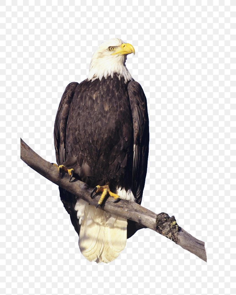 bald eagle bird hawk feather png favpng SmyTR4XnjULaenSdJzPUYq5Z4