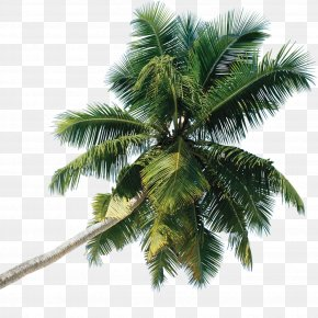 Palm Tree - Tree Arecaceae PNG