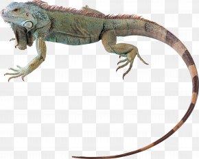 Chameleon - Green Iguana Lizard Reptile Chameleons Chuckwalla PNG