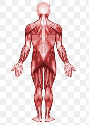 Human Body - Muscle Human Anatomy Muscular System Human Body PNG