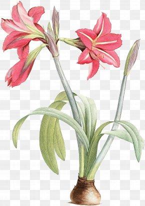 Crinum Pedicel - Flower Plant Amaryllis Belladonna Petal Cut Flowers PNG