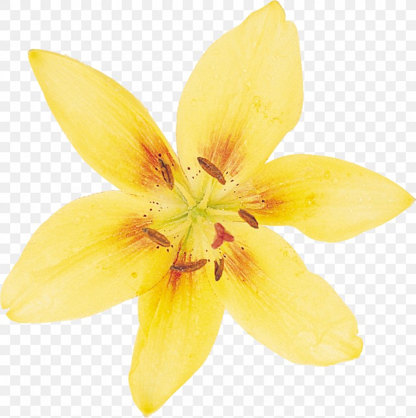 Daffodil Flower Desktop Wallpaper Lilium Png 1132x1138px