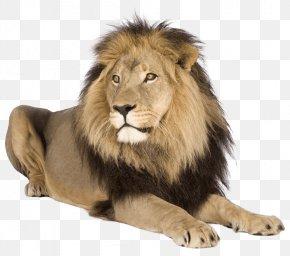 Lion - Lion Tiger Cat PNG