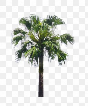 Palm Tree - Arecaceae Tree Asian Palmyra Palm Landscape PNG