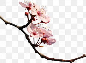 Cherry Blossom - Cherry Blossom Photography Clip Art PNG