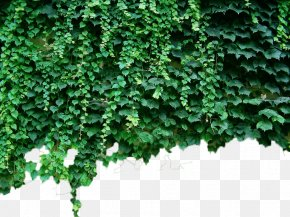 Green Wall Tiger - Parthenocissus Tricuspidata Virginia Creeper Green Plant Vine PNG