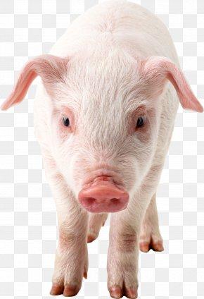 Pig Clipart - Domestic Pig Clip Art PNG