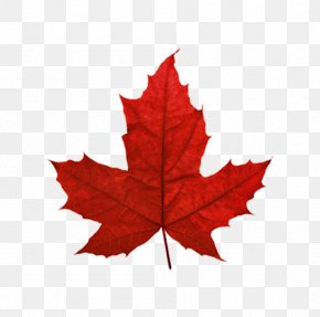 Red Maple Leaf Canada - Red Maple Maple Leaf Sugar Maple Japanese Maple PNG