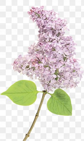 Blossom Tree - Lilac Flower Lilac Plant Branch PNG