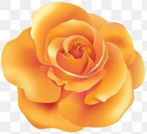 Orange Rose Transparent Clip Art - Orange Garden Roses Clip Art PNG