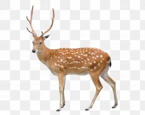 Deer - Sika Deer Stock Photography Clip Art PNG