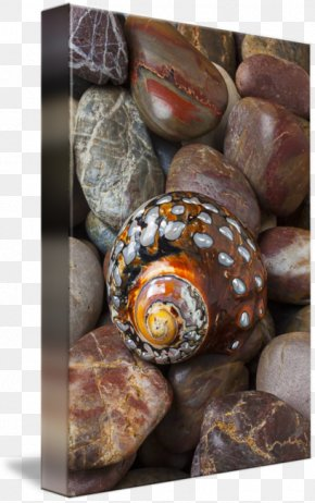 Sea Snail - Conchology Seashell PNG