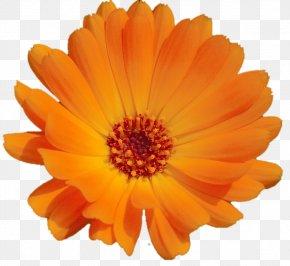Orange - Calendula Officinalis Orange Blume Flower Cappuccino PNG