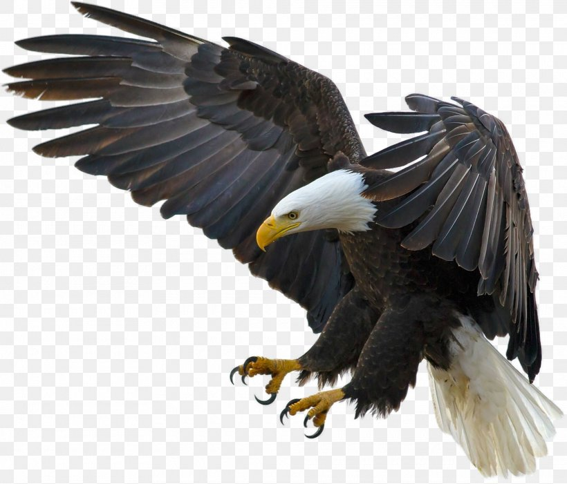 Bald Eagle Bird Desktop Wallpaper High Definition Television Png 1920x1643px 4k Resolution Bald Eagle Accipitriformes African