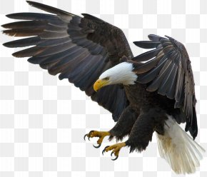 Bald Eagle Bird Desktop Wallpaper Hawk Png 1200x625px