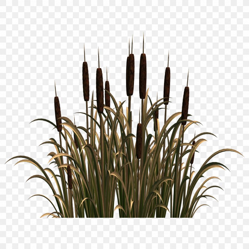 Common Reed Clip Art Png 1600x1600px Reed Commodity Common Reed Email Flower Download Free