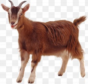 Goat - Golden Guernsey Sheep Clip Art PNG
