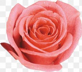 Pink Roses - Beach Rose Garden Roses Desktop Wallpaper Clip Art PNG