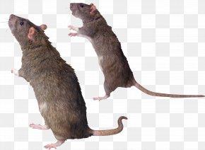 Mouse, Rat Image - Rat Mouse Gerbil Common Degu Whiskers PNG