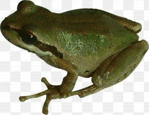 Frog - Frog PhotoScape Clip Art PNG