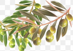 With Foliage Green Olives Material - Contessa Entellina Material Manufacturing Olive PNG