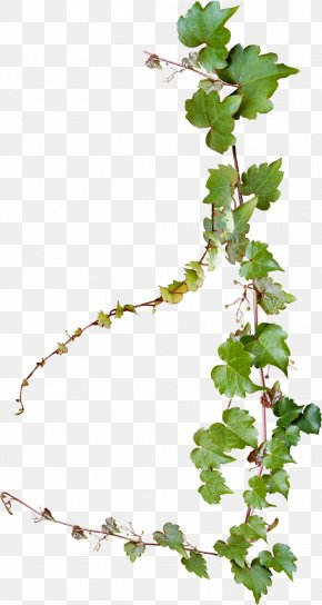 Creative Grape Vines Design - Common Grape Vine Photography PNG