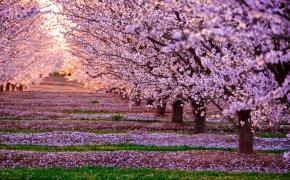 Cherry Blossom - Japan National Cherry Blossom Festival PNG