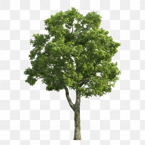 Trees - Tree Stock Photography Desktop Wallpaper Juglans Dawn Redwood PNG