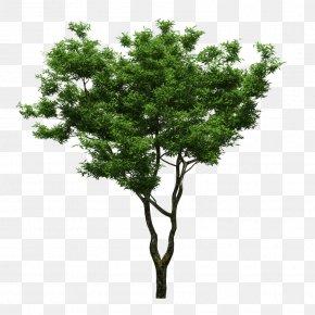 Trees - Tree Feng Shui Yard Sweet Osmanthus Bonsai PNG