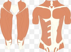 Muscle Man - Muscle Human Body PNG