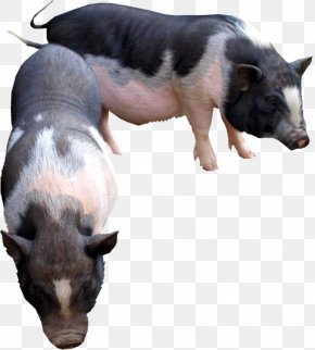 Pig - Domestic Pig Cattle Goat Animal PNG