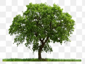 Tree Image Download Picture - Tree Clipping Path Pine PNG